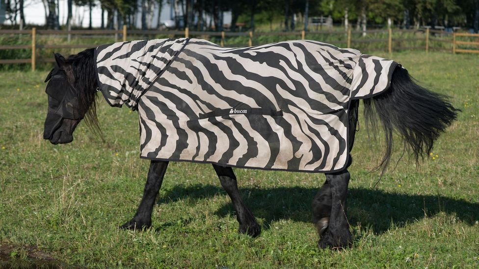 Evolutionary biologists dressed horses in zebra print coats to observe how flies reacted to them (Credit: Alamy)