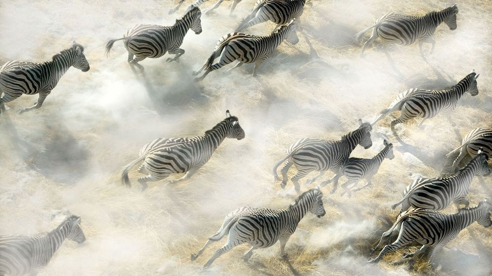 Zebras tend to run from threats rather than try to hide (Credit: Alamy)