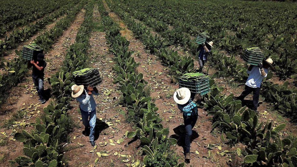 Farm workers in Mexico harvest white nopal, the juice from which can be used to manufacture bioplastics (Credit: Getty Images)
