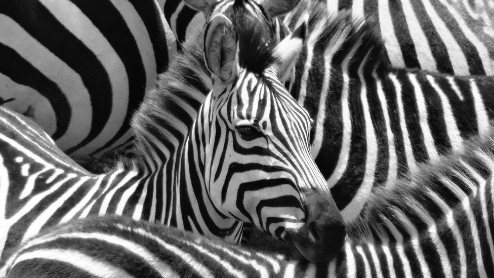 Scientists have a number of theories for why zebra have evolved their distinctive black and white stripes (Credit: Getty Images)
