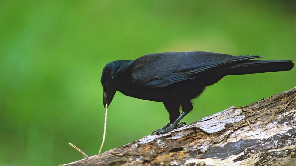 The New Caledonian crow uses twigs and branches to extricate grubs and insects from inside trees (Credit: Alamy)