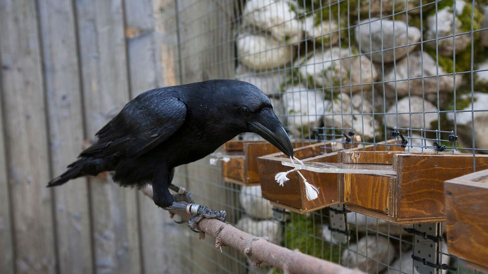Crows and ravens have a natural curiosity, research suggest (Credit: Alamy)