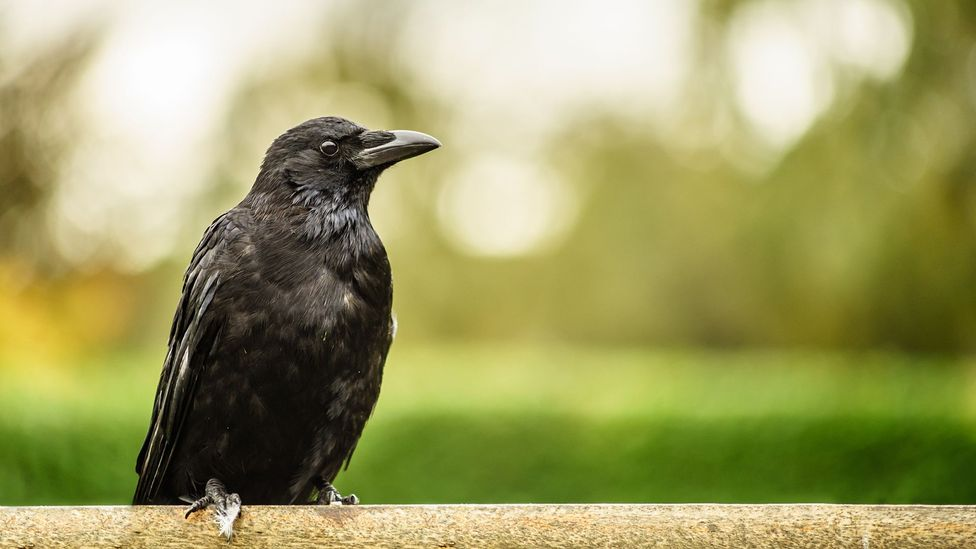 Crows have shown advanced problem solving for situations they would never encounter in the wild (Credit: Getty Images)
