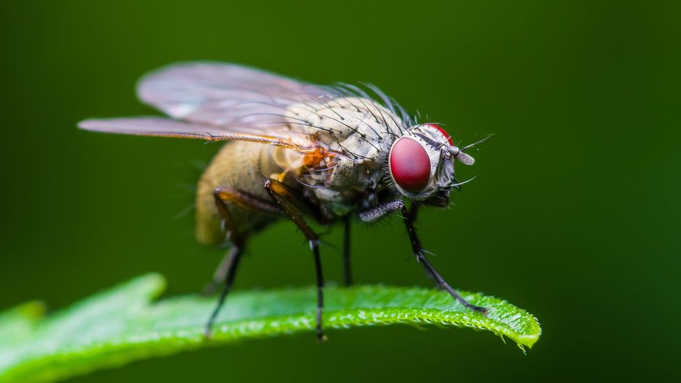 Fruit flies become more aggressive when their serotonin levels become mixed up, research has shown (Credit: Getty Images)
