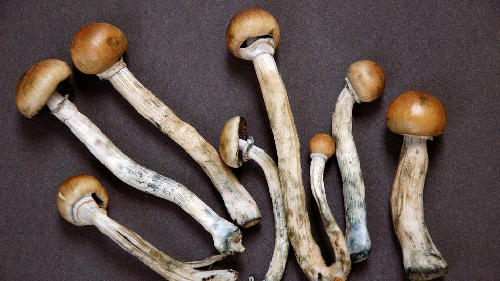 Psilocybin, or 'magic mushrooms', has been granted a 'breathrough' designation, allowing it to be clinically researched for medical uses (Credit: Getty Images)