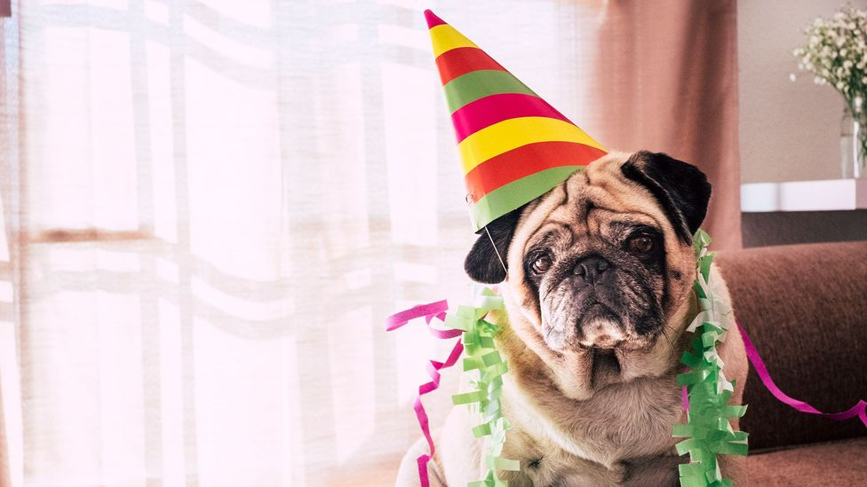 Rather than celebrating chronological age, looking at the levels of methylation on a dog's DNA is a much more accurate measure of aging (Credit: Getty Images)