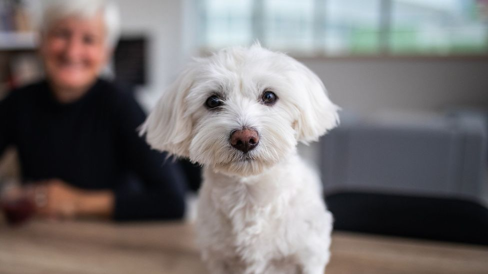 Smaller dogs tend to live a lot longer than larger breeds, which suggests they age at a slower rate (Credit: Getty Images)