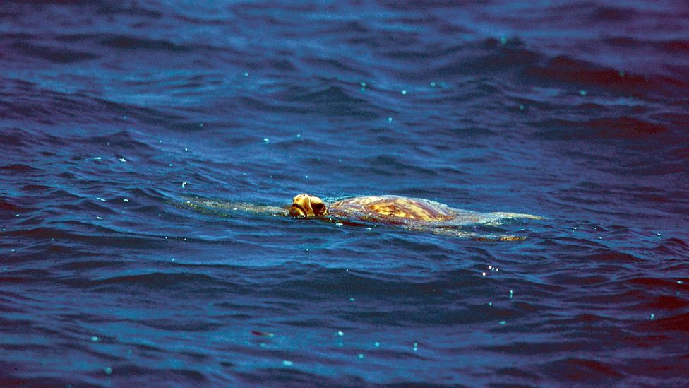Sea turtles provided the Robertsons with meat but also a vital supply of fat under their shells and blood that helped to keep the family alive (Credit: Getty Images)
