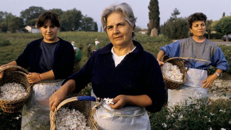 In Grasse, France, women work in the fields to gather flowers for making perfume in the traditional way as they have done for centuries (Credit: Getty Images)