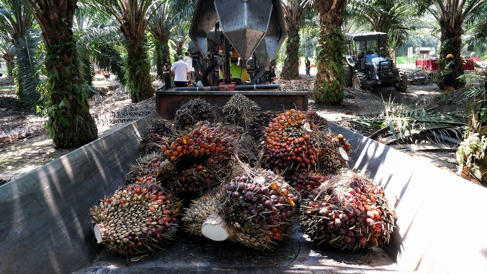 Oil palms are hugely productive and cheap to grow, which has been largely responsible for their rapid proliferation (Credit: Getty Images)