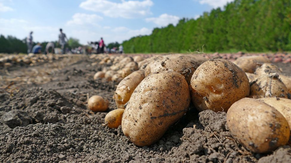 To get your daily requirement of vitamin b6, you would need to eat around 1.5lbs of potatoes (Credit: Getty Images)