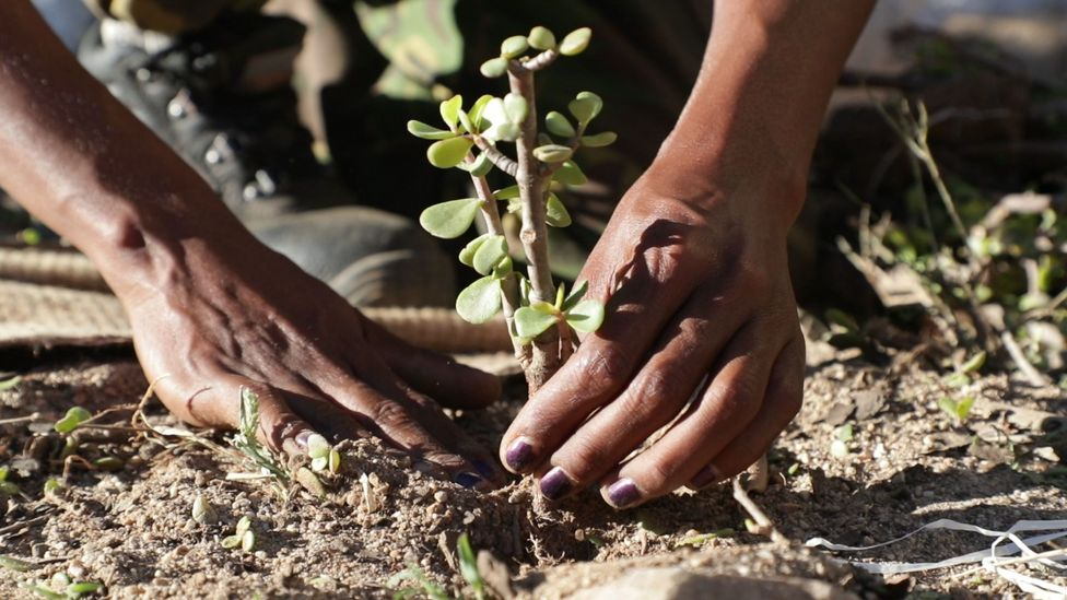 Spekboom is a low-maintenance shrub, and doesn't need to be cultivated in a nursery before planting, making it cheap and convenient (Credit: UN Environment Programme)
