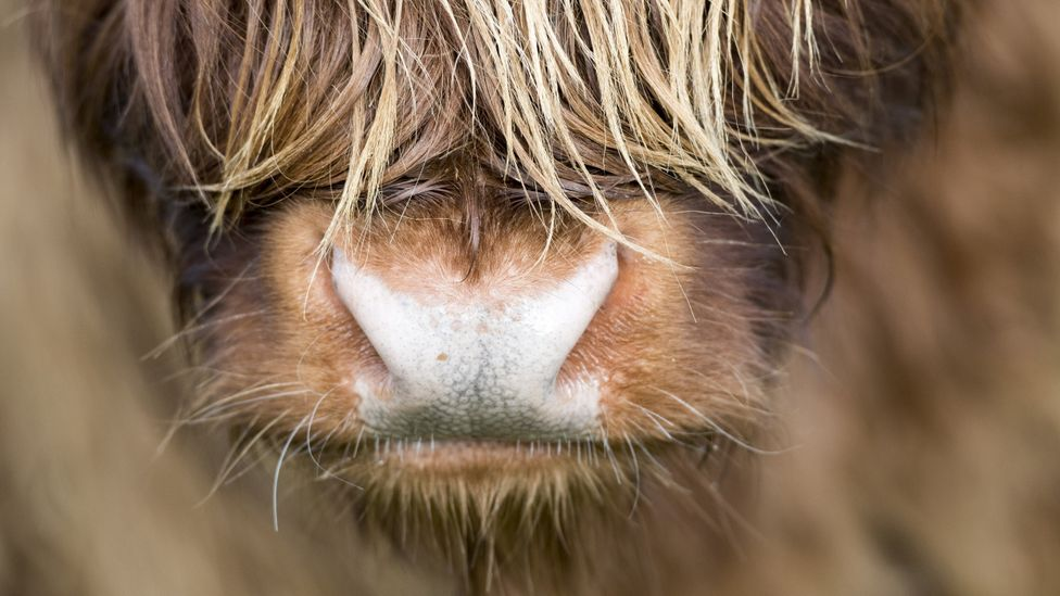 An up close shot of a hairy Highland cow's nose (Credit: Getty Images)