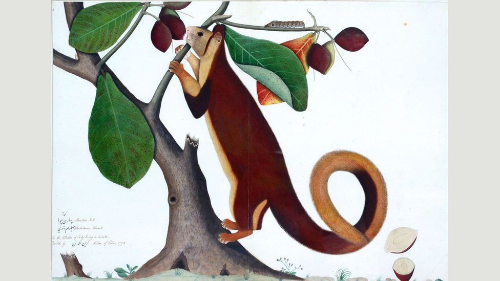 Malabar Giant Squirrel, Calcutta (1778) by Zain Ud-Din, commissioned by a Company official to catalogue a private menagerie at their home in Calcutta (Credit: Private collection)