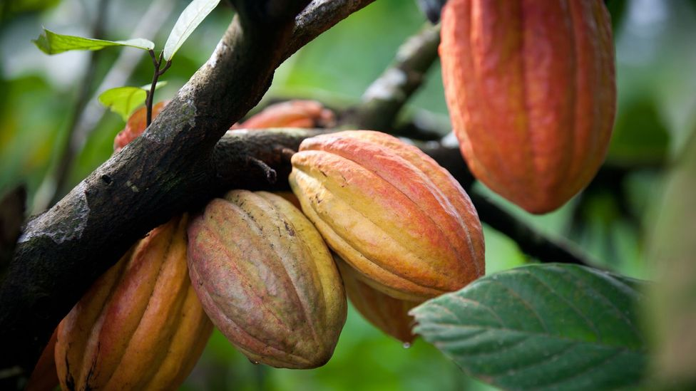 The cacao pods we make chocolate from can come with a bad taste: rainforest being torn down to plant trees (Credit: Getty Images)