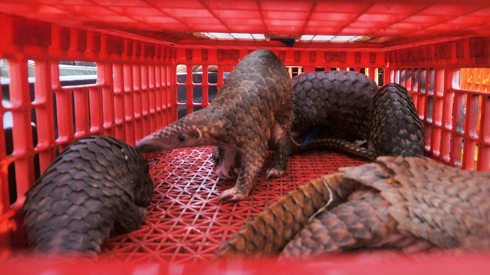 The new coronavirus may have jumped species to humans from pangolins, which are often sold for use in traditional Chinese medicine (Credit: Getty Images)