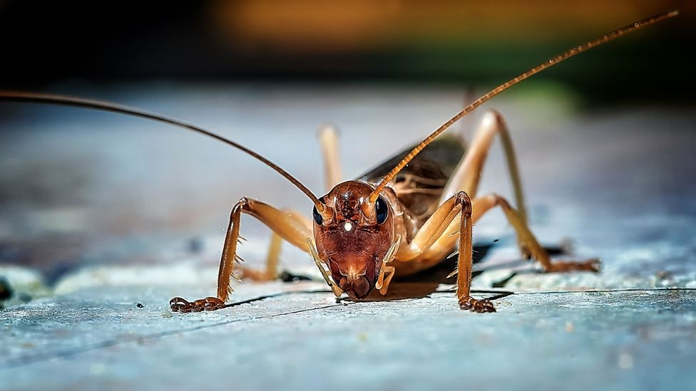 Chippin's Haley Russell says crickets contain all 10 essential amino acids dogs need (Credit: Getty Images)
