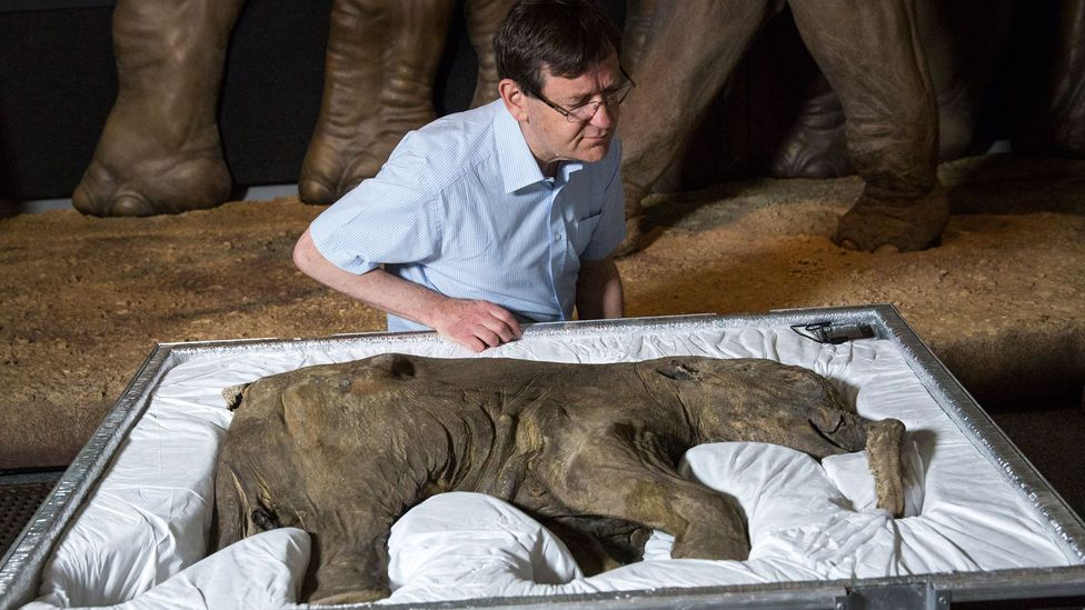 Adrian Lister examines Lyuba, the world's most complete mammoth, after her arrival at the Natural History Museum, London (Credit: Getty Images)