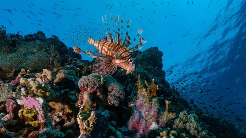 The coral reefs of the Red Sea are proving to be remarkably resilient to heat, offering hope for reseeding reefs destroyed by climate change (Credit: Getty Images)