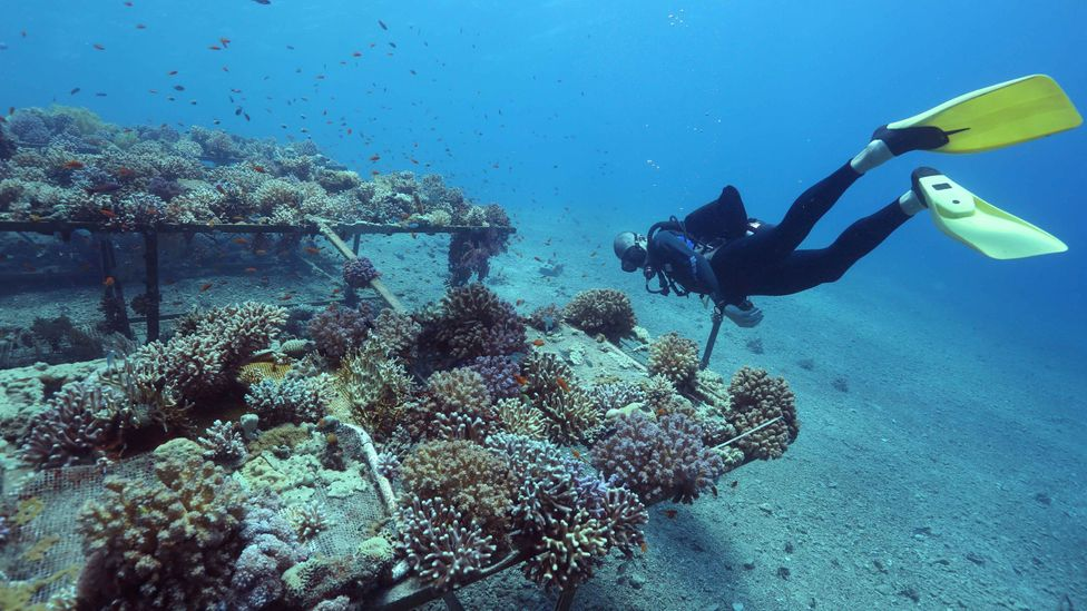 If the Red Sea corals are resilient, they could be used to rehabilitate other reefs (Credit: Getty Images)