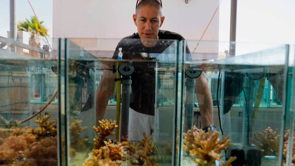 Maoz Fine hopes to lead an expedition to thoroughly survey the corals of the Red Sea to assess them for climate resilience (Credit: Getty Images)