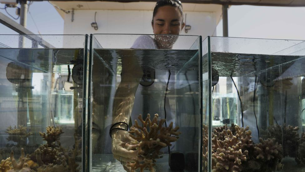Researchers like Jessica Bellworthy can do many of their experiments on the corals remotely, but some of them require getting their hands wet (Credit: Getty Images)