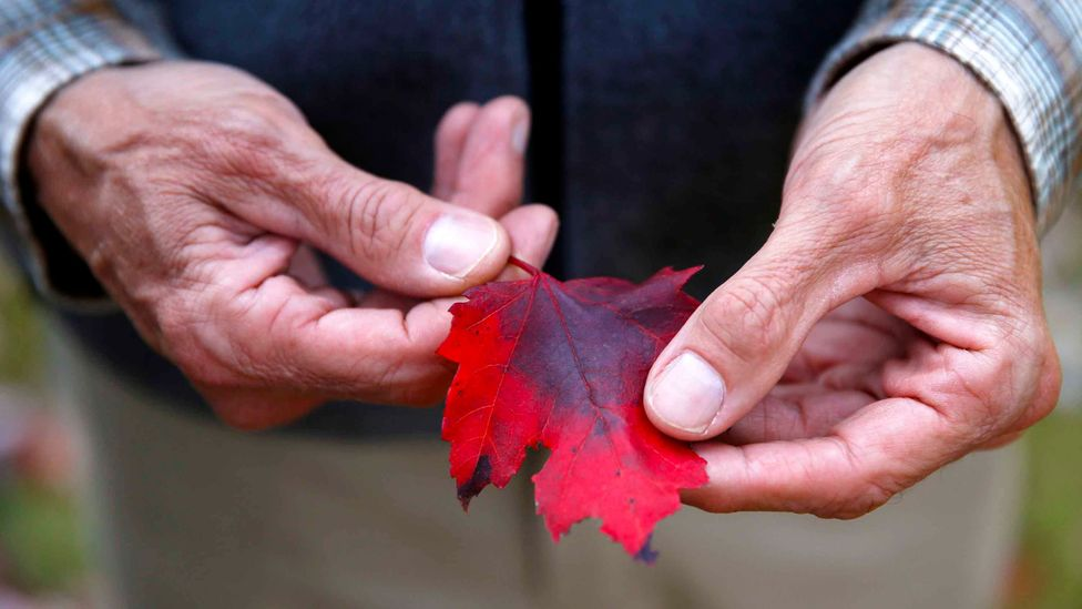 A man holds a bright red maple leaf in his hands (Credit: Getty Images)