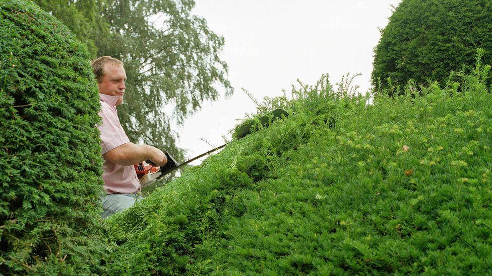 Yew hedges make good roadside additions to reduce pollution, but they also have poisonous leaves and berries which means they are not suitable everywhere (Credit: Getty Images)