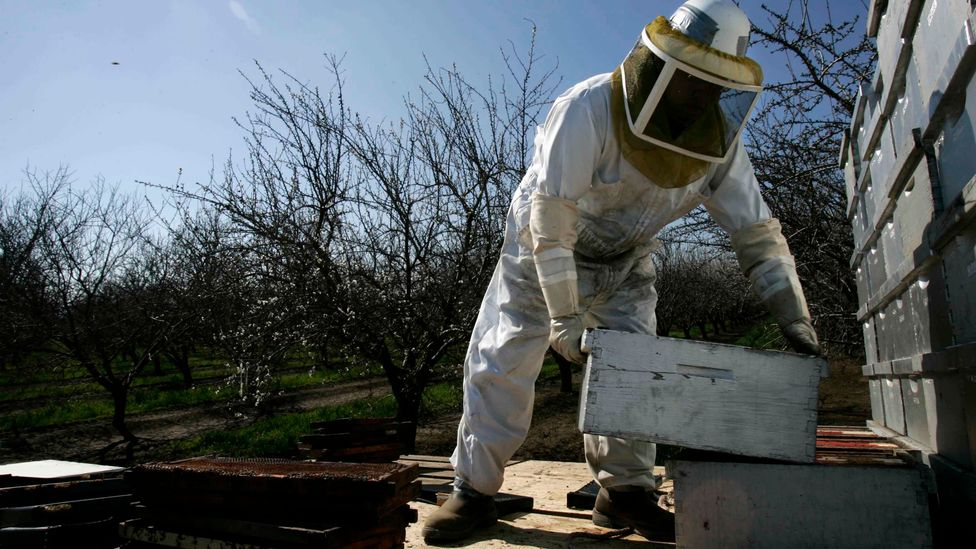 In the US, commercial travelling bee hives are heavily relied upon to pollinate crops such as the Californian almond (Credit: Getty Images)