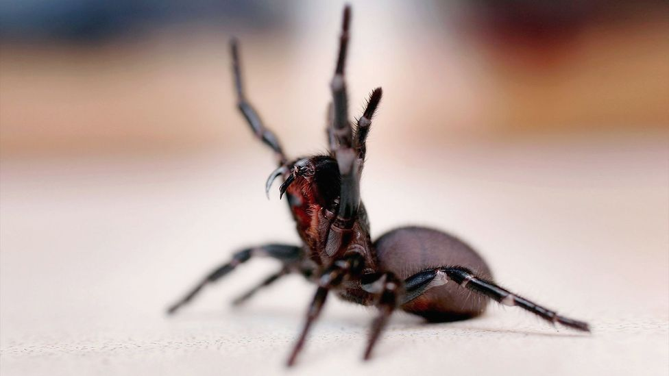 The bite of a funnel-web spider can kill a human, but one component of its venom could prevent brain damage in stroke survivors (Credit: Getty Images)