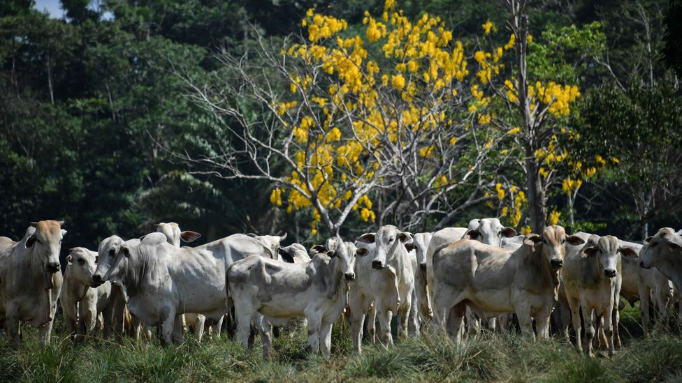 As well as harvesting timber, land is deforested in the Amazon for cattle ranching and growing crops (Credit: Getty Images)