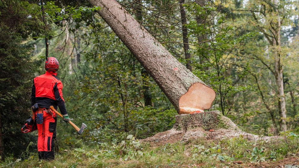 When trees are cut down, it is important that the carbon they contain is not released again into the atmosphere (Credit: Getty Images)