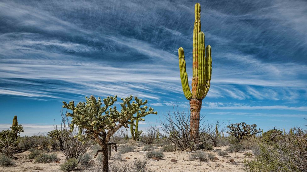 Cacti are a promising new source of biofuels in the Mexican desert (Credit: Getty Images)