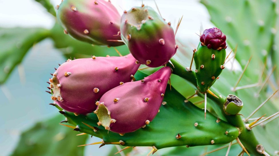 The benefit of using nopal plant matter for creating biofuel is that it is grown for other uses, helping to make efficient use of land and resources (Credit: Getty Images)