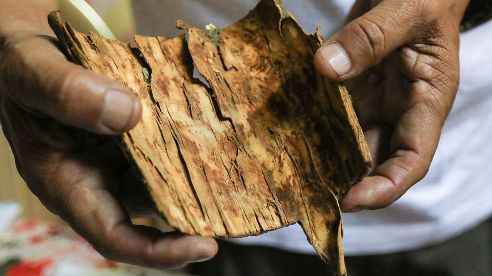 The world's first anti-malarial drug was extracted from the bark of this tree – a discovery that has changed the world map (Credit: Celso Roldan/Getty Images)