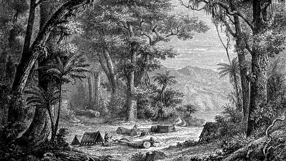 As Europeans hired locals to harvest more quinine to fuel their colonial pursuits, cinchona trees became increasingly scarce (Credit: Universal History Archive/Getty Images)