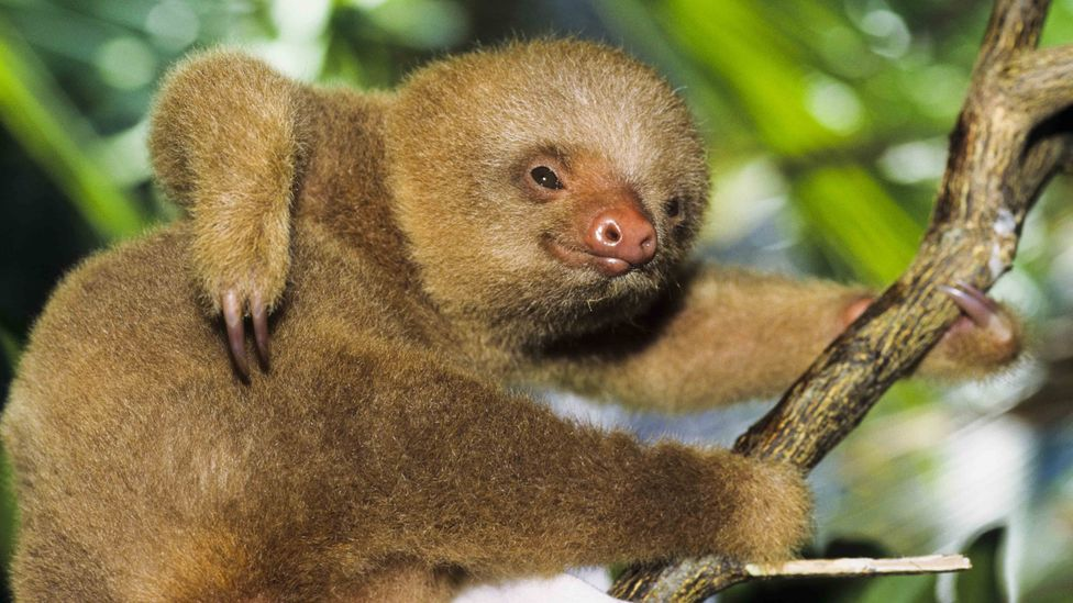Sloths are found in many parts of Costa Rica, but rarely in its capital - except in a few hidden spots (Credit: Getty Images)