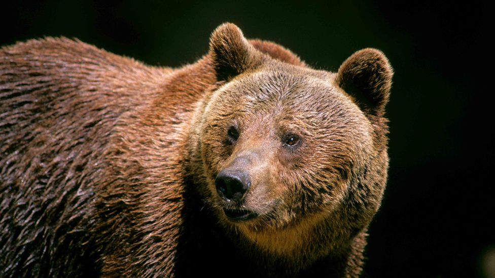 The Marsican brown bear, shown here in captivity, is an endangered species with only 50-60 left in the wild (Credit: Alamy)