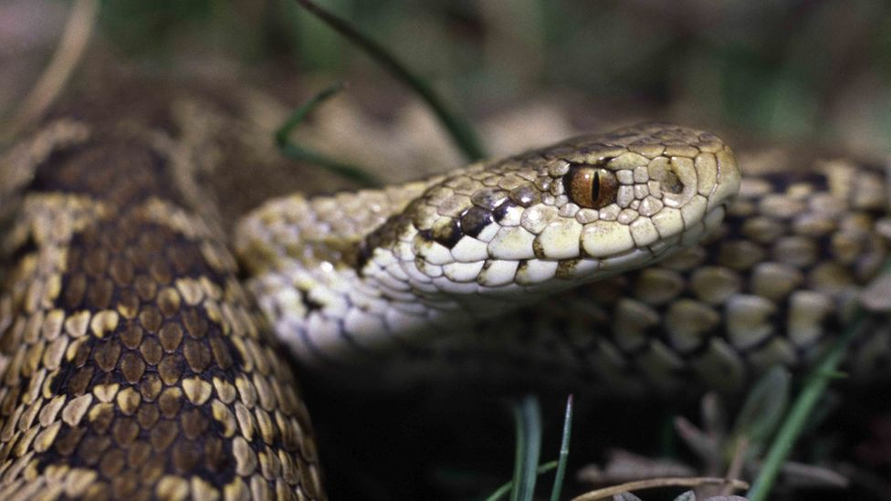 Ursini's viper, or the meadow viper, shares its mountain habitat with the Marsican brown bear (Credit: Alamy)