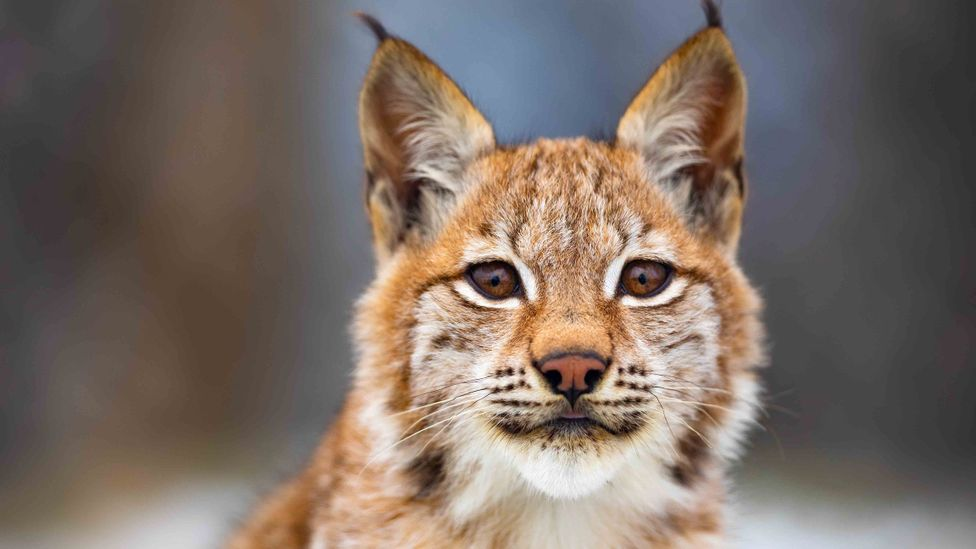 The lynx, like many mountain species, is only able to tolerate a certain level of intrusion from humans (Credit: Getty Images)