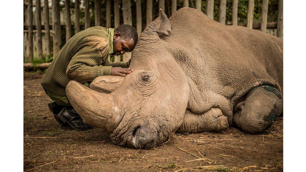 Joseph Wachira saying goodbye to Sudan, the last male Northern White Rhino, by Ami Vitale (Credit: Ami Vitale)