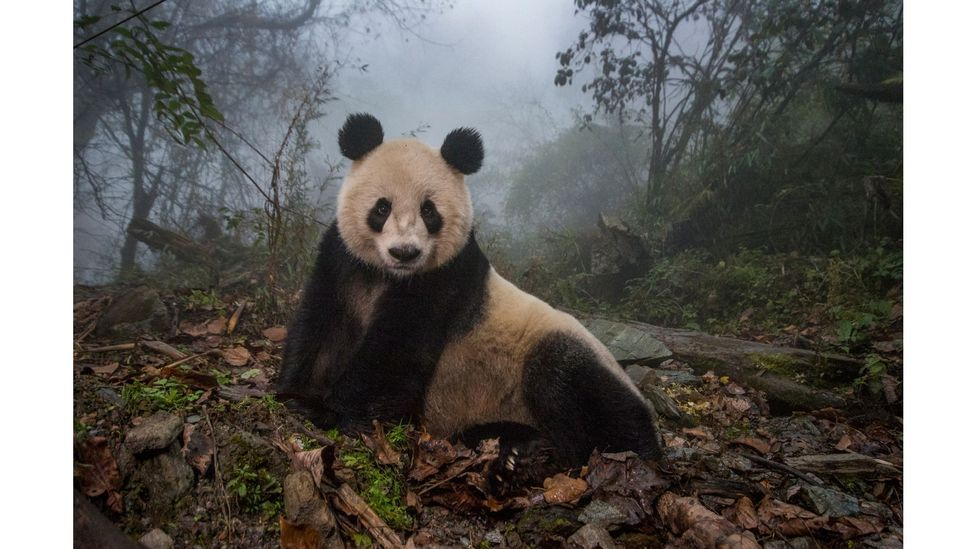 Ye Ye, a 16-year-old giant panda, in a wild enclosure at a conservation centre in Wolong Nature Reserve, China by Ami Vitale (Credit: Ami Vitale)