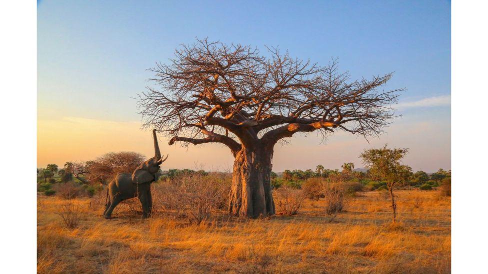 Elephant reaching for high branches, Ruaha National Park, Tanzania by Graeme Green (Credit: Graeme Green)