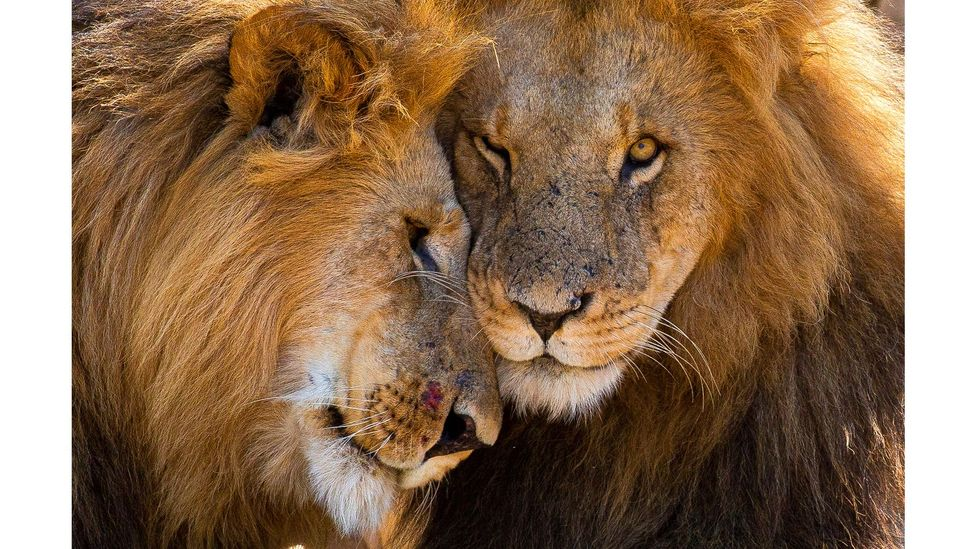 Lion brothers, Naboisho Mara Conservancy, Kenya by Graeme Green (Credit: Graeme Green)
