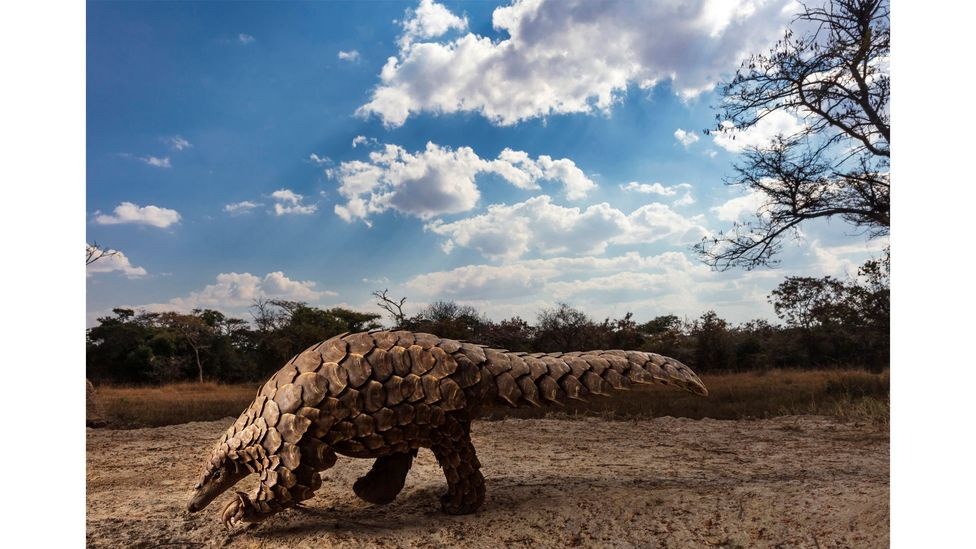 Brent Stirton's Pangolins in Crisis series has just won first prize in the wildlife category of the Sony World Photo Awards (Credit: Brent Stirton)