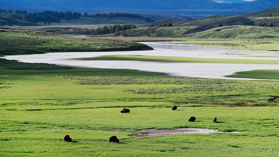 In Yellowstone National Park, a certain type of grass has increased heat tolerance due to a virus (Credit: Getty Images)