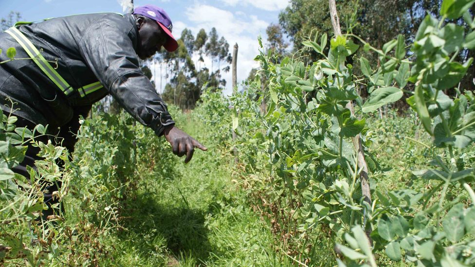 Peter Muniu, a farmer from Mutamaiyu village in central Kenya, points to part of his damaged crop of snow peas (Credit: David Njagi)