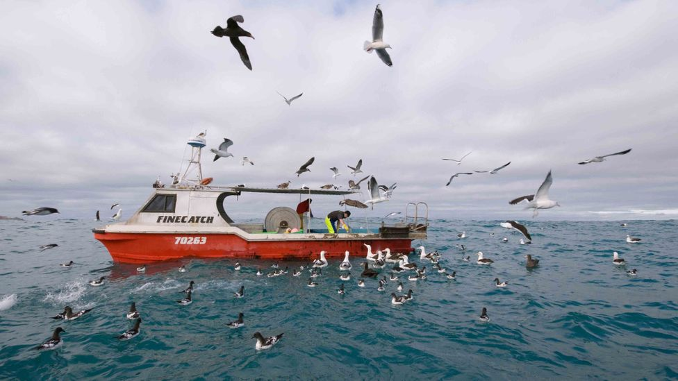 Precautions can be taken to stop albatrosses being killed as bycatch by legitimate fishing boats, such as having human observers on the lookout (Credit: Alamy)