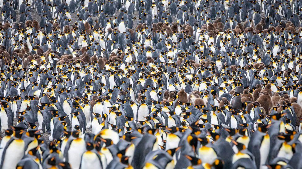 Carpet of penguins (Credit: Credit: Bella Falk)