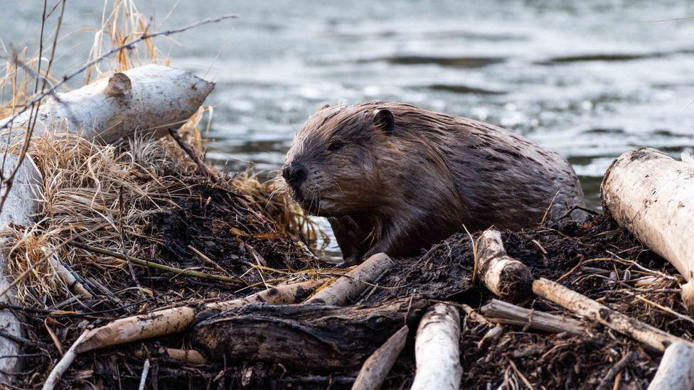 Beavers create dams that make rivers spill and pool, helping to rewet the wider area (Credit: Getty Images)